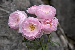 Rosa Ausland in my garden, Norway