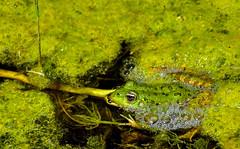 Grenouille verte (Diegojack) Tags: vaud suisse yverdonlesbains d500 etang centre pronatura champittet mousse verte batracien grenouille eau