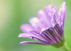 Daisy and Drops (mclcbooks) Tags: flower flowers floral daisy daisies denverbotanicgardens colorado macro closeup drops droplets
