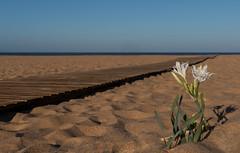 Narciso de mar (Carlos Javier Pérez) Tags: liriosdemar pancratiummaritimum azucenademar flores floresenlasdunas playa pasarela arena mar cielo regladelostercios diagonal nikond500 tamron2470g2 narcisodemar