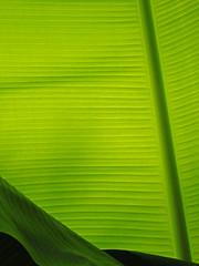 Banana Leaf (Cornishcarolin. Stupid busy!! xx) Tags: cornwall httpswwwedenprojectcom nature plants leaves stripes