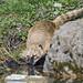 Coati drinking