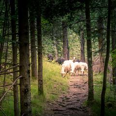 Deep in the forest (hjuengst) Tags: forest wald slowenien slovenia soca schafe sheep tree baum trenta tolmin
