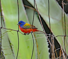 Painted bunting (justkim1106) Tags: paintedbunting bird songbird texasbird colorfulbird nature texaswildlife wildlife