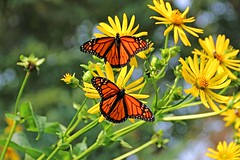 Monarch Magic (marylee.agnew) Tags: monarchs butterflies magic beauty two summer sun nature outdoor flowers colors