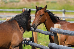 Fence Friday? (Marc Haegeman Photography) Tags: horse paard idaho usa fence obsidian stanley ranch americanwest cowboy western marchaegemanphotography animals nature summer travel