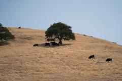 Cows Need Shades (tourtrophy) Tags: shellridgeopenspacereserve walnutcreek cows giantoaktree sonya7rii eastbay eastbayregionalparkdistrict sonyfe24105mmf4goss