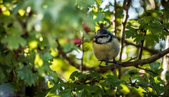 Blue tit enjoying the last of the sunshine (claudiacridge) Tags: