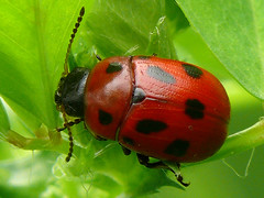 p1240768 (claudiopoli) Tags: animali animalia arthropoda insecta coleoptera chrysomelidae gonioctena fornicata autouploadfilenamep1240768jpg