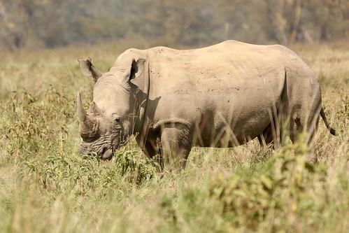 Ponderous white rhino considers her next move