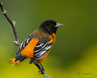 Handsome Oriole