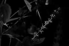 Blossoms and Leaves - Blüten und Blätter (b_kohnert) Tags: bw blackandwhite monochrome schwarzweis blossoms leaves blüten blätter