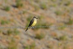 Western Kingbird (7815) (Bob Walker (NM)) Tags: bird perching fencewire kingbird westernkingbird tyrannusverticalis weki losalamos newmexico usa