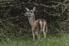 Farewell glance (davidrhall1234) Tags: reddeercervuselaphus scotland highlands glens reddeer deer wild animal countryside mammal nature nikon outdoors wildlife world woodland hind
