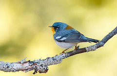 Northern Parula. (mandokid1) Tags: canon 1dx ef600mm11 birds warblers
