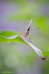 Eyes on you (JSB PHOTOGRAPHS) Tags: jsb4139 butterfly nikon d600 28300mm bokehlicious bokeh