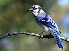 Geai bleu (Marie-Helene Levesque) Tags: oiseau abitibi valdor côtede100pieds loft geai geaibleu mariehélène mariehelene