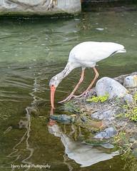 Juvenile White Ibis (Harry Rother) Tags: wading animal ibis white juvenile