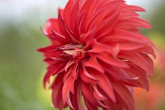 Red Stiletto Dahlia (ChristopherLeeHewitt) Tags: dahlia flower petals red stiletto dof bloom blossom bright blueridgemountains blooming plants pollen flora flowers fleur macro nature naturephotography side portrait