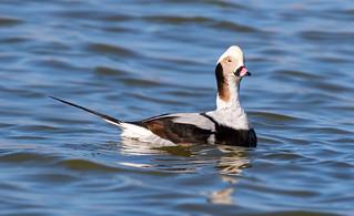 Long-tailed duck / Hávella (Clangula hyemalis)
