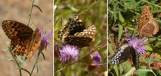 Male and female Fritillary butterflies - Leto Fritillary (Speyeria cybele leto)?