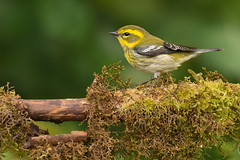Townsend's Warbler (Martin Dollenkamp) Tags: vancouverisland warbler bird townsendswarbler setophagatownsendi