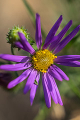 Purple Flower (benakersphoto) Tags: flower arizona macro nature purple color colorful nikon minolta minoltamd