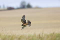 Northern Harrier (Peter Stahl Photography) Tags: northernharrier harrier hunting fields murraymarsh