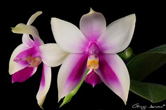 Phalaenopsis bellina (Giorgio Armano) Tags: orchidee orchid orchidea orchids macro nikon helicon fiore focus flower fiori phalaenopsis bellina