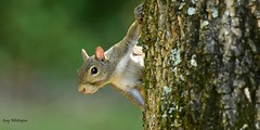 Squirrel_2379c (Porch Dog) Tags: 2018 garywhittington nikkor200500mm wildlife nature september outdoors squirrel rodent