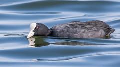 Coot (Glenn.B) Tags: farmoorreservoir oxfordshire waterfowl wildfowl bird avian water coot
