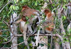 A family of proboscis monkeys (Nasalis larvatus), Borneo, Indonesia (josepsalabarbany) Tags: borneo kalimantan indonesia jungle wildlife monkey orangutan proboscismonkey nasalislarvatus tanjungputing river riu nationalpark boat klotok barca