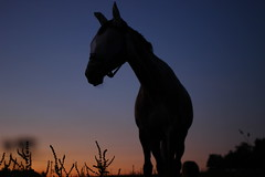 Hey yo (Nathalie_Désirée) Tags: horse evening animal fauna bluehour silhouette contrejour head canoneos600d canon50mm meadow country rural lanscape farm summer serenade sunset dusk sun