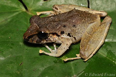 Robber frog (Craugastor sp.) (edward.evans) Tags: robberfrog rainfrog craugastor craugastorfitzingeri frog costaricanamphibianresearchcentre crarc siquirres costarica wildlife nature macro amphibian rana herp herping