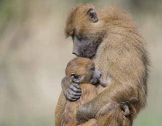 Unconditional Love (Guinea Baboons)