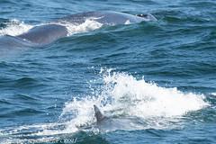 Cow and calf fin whale (ah_kopelman) Tags: bpcresli2018081501cow bpcresli2018081502calf 2018 balaenopteraphysalus cresli creslivikingfleetwhalewatch finwhale montaukny vikingfleet vikingstarship calfinbackground cowinforeground momandcalf whalewatch
