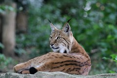Lynx boréal (Passion Animaux & Photos) Tags: lynx boreal eurasianlynx lynxlynx