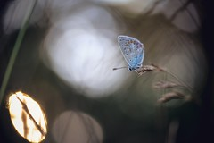 Mirror, mirror ... (Joe Effendi (Always Late!)) Tags: effendi fujifilm fujix xt10 kodakcine50mmf16 kodakcineanastigmat50mmf16 vlinder butterfly blauwtje commonblue florafauna nature natuur outdoor macro closeup depthoffield dof august augustus 2018 bokeh