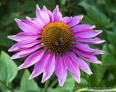 Flowers of Summer 1 (photoeclectia1) Tags: flowers coneflower echinacea summer