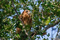 Pel's Fishing Owl (Bob Gunderson) Tags: africa birds birdsofprey botswana canoneos7dmarkii moremigamereserve owls pelsfishingowl southernafrica xigera