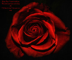 Red Rose (Southern Darlin') Tags: art rose red song love photography photo nature naturephotography canon closeup manipulation flower