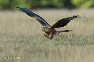I'll have it! (Red Kite)