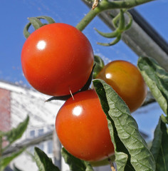 Red Tomatoes and Blue Sky:    244/365 (amandabhslater) Tags: tomatoes tomato sky leaf greenhouse 2018aphotographicdiary garden