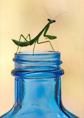 F  R  A  G  I  L  E (dianne_stankiewicz) Tags: macromondays hmm glass fragile mantis insect nature colored blue handlewithcare bottleneck