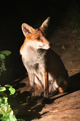 little night stalker (Sue Elderberry) Tags: fox redfox rotfuchs vulpusvulpes canine vixen night animal