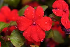 DSC_1530 Busy Lizzie (PeaTJay) Tags: nikond750 sigma reading lowerearley berkshire macro micro closeups gardens outdoors nature flora fauna plants flowers busylizzie