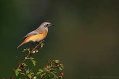 Redstart 115480 (wildlifetog) Tags: redstart culver down isleofwight uk mbiow martin blackmore britishisles britain bird birds british wild wildlife nature canon england european eos7dmkii