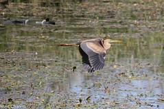 Héron pourpré (charvin7352) Tags: héron heron héronpourpré oiseau oiseauenvol bird lacdubourget animalier animal ornithologie ornithology