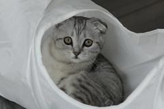NUGGET                             2. (K.Verhulst) Tags: scottishfold schotsevouwoorkat nugget kat poes pet huisdier cats cat kitten
