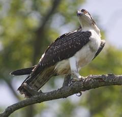 Osprey (Vladimir & Elena) Tags: raptor osprey nature wildlife